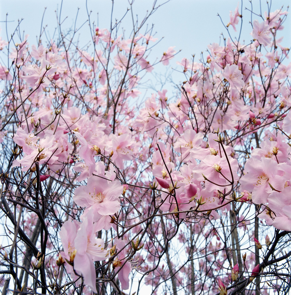 Detail of a cherry tree --- Image by © Royalty-Free/Corbis
